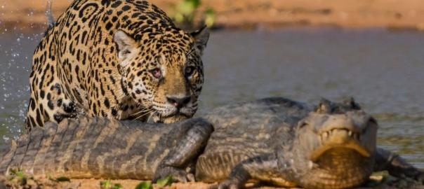 Jaguar attacks crocodile